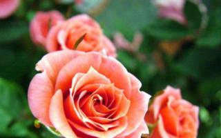 Розы кораллового цвета