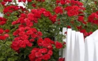 Красные плетистые розы сорта