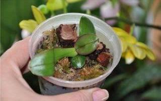 Как размножаются орхидеи в домашних