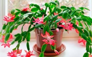 Декабрист растение