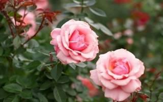 Роза как размножается
