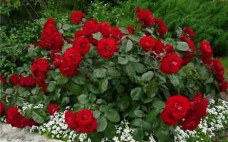 Почему роза перерождается в шиповник