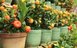 Кинкан уход и выращивание в домашних условиях