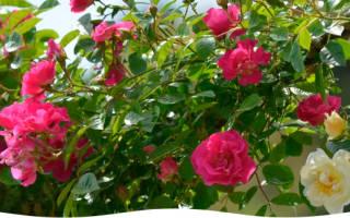 Как укрывать на зиму розы