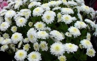 Радость хризантема