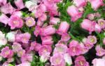 Колокольчик розовый многолетний
