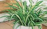 У хлорофитума сохнут кончики листьев что делать