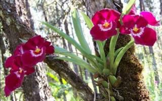 Мильтония орхидея уход