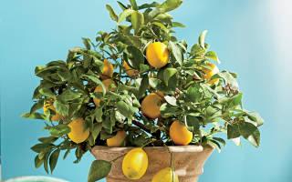 Почему у комнатного лимона скручиваются листья