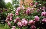 Роза шраб что это