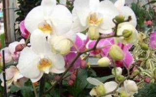 Фаленопсис грандифлора