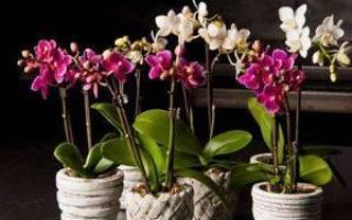 Как подрезать орхидею после цветения