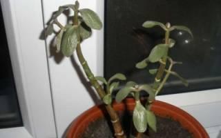 У толстянки мягкие листья что делать