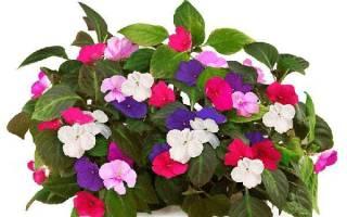 Цветок ванька встанька