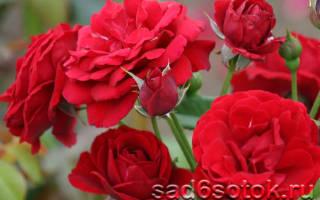 Как правильно выращивать розы
