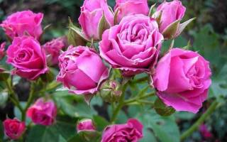 Роза флорибунда сорта описание