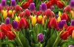 Время посадки тюльпанов