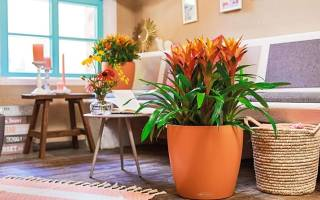 Комнатный цветок с оранжевыми цветами