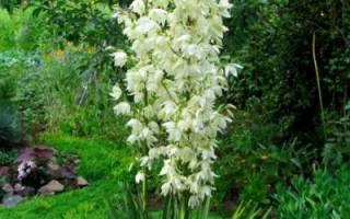 Юка цветок садовый уход посадка
