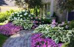 Хоста уход и выращивание в саду
