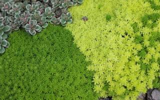 Почвопокровные растения для сада многолетники