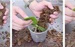 Как садить орхидею в горшок