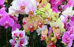У орхидеи много воздушных корней что делать