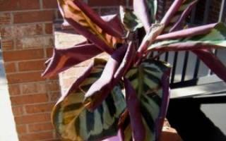 Почему скручиваются листья у калатеи
