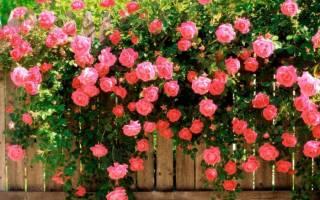 Плетущаяся роза