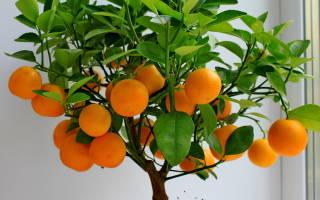 Мандариновое дерево уход