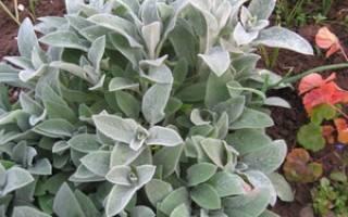 Овечьи ушки растение